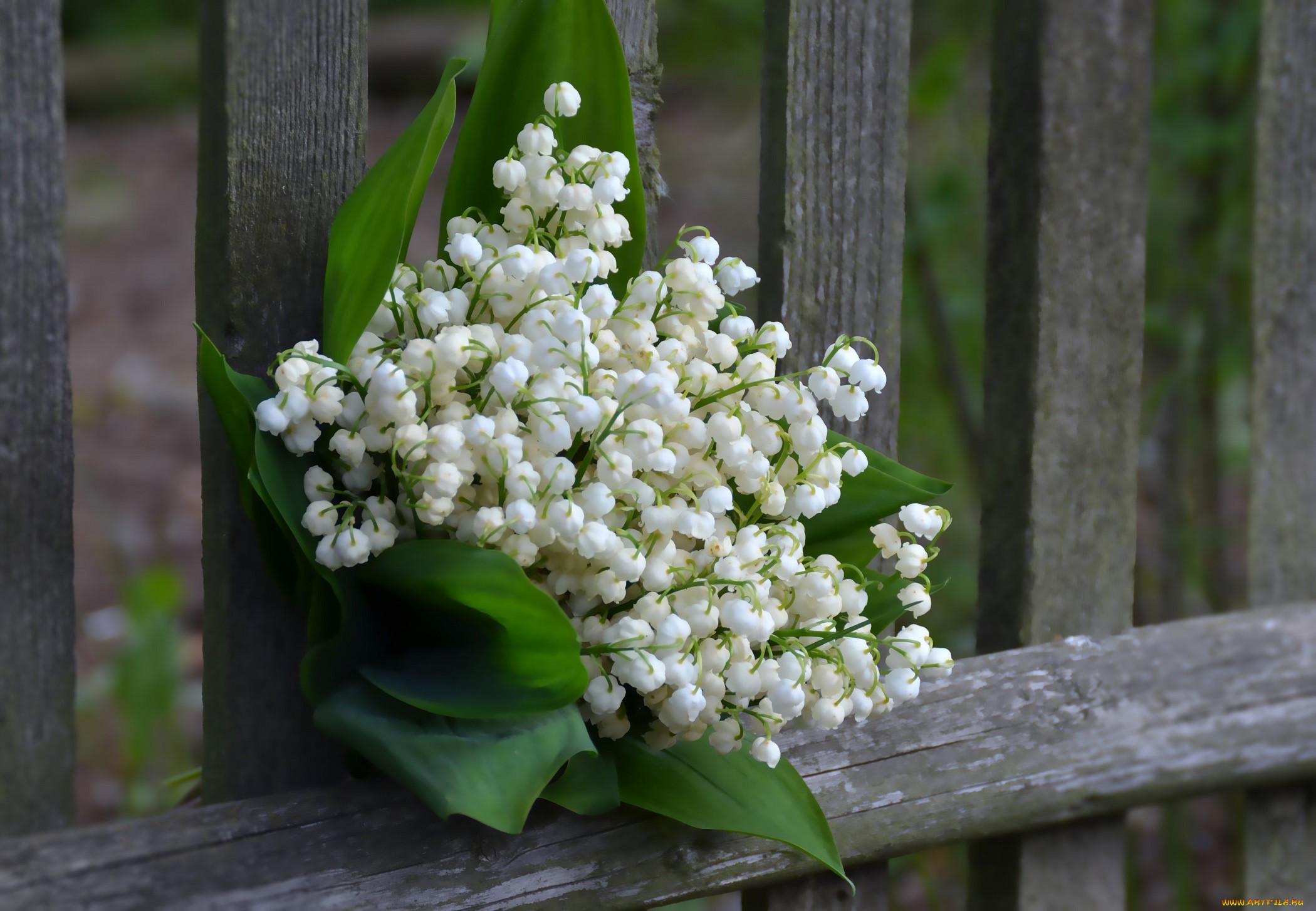 фото картинки цветы ландыши широко известный всему
